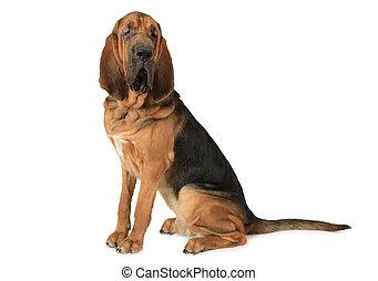 純血 犬, ブラッドハウンド