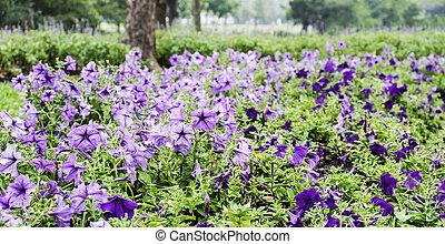 紫罗兰色的花, 在花园