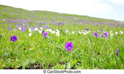 紫罗兰, 在上, the, 绿色的山坡