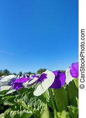 紫色の花, 庭, パンジー, 終わり, ピンク