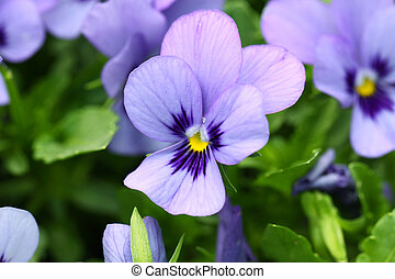 紫色の花, 背景