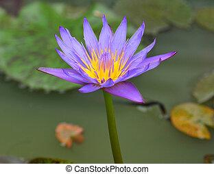 紫色, はす花, 咲く
