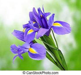 紫色, アイリス, 花