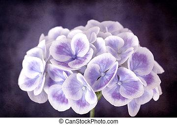 紫色, アジサイ, グランジ, 効果