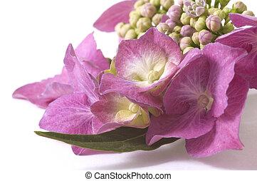 紫色, アジサイ