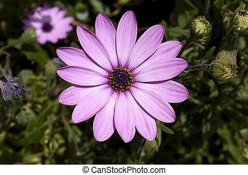 紫色, アフリカヒナギク