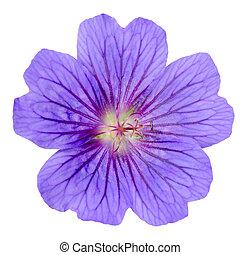 紫色, ゼラニウム, 花, 隔離された, 白