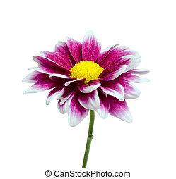 紫色, ダリア, 白い花, 隔離された