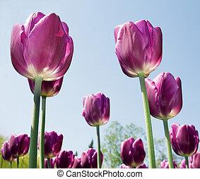 紫色, チューリップ, クローズアップ, 花, 背景