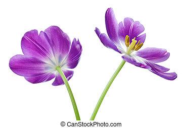 紫色, チューリップ, 白, 隔離された, 背景