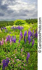 紫色, 同时,, 粉红色, 花园, 羽扇豆, 花