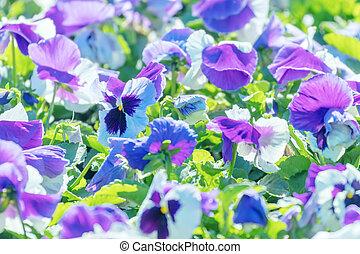 紫色, 庭, パンジー, 終わり, 花, ピンク