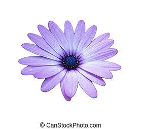 紫色, 白いひなぎく, 背景, アフリカ