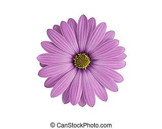 紫色, 白い花, 隔離された