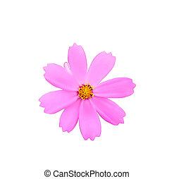 紫色, 白い花, 隔離された, 背景