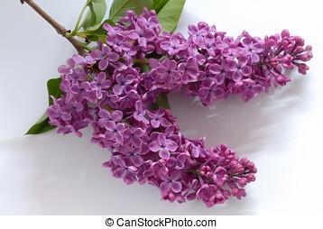 紫色, 群がりなさい, ライラック