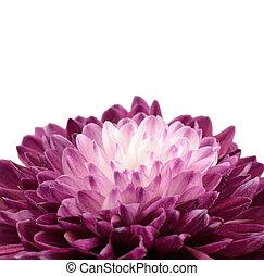 紫色, 菊, 花, ∥で∥, 白, 中心, 隔離された