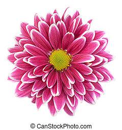 紫色, 菊, 花, クローズアップ