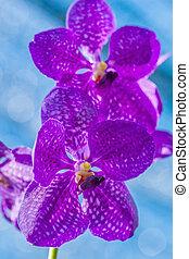 紫色, 蘭
