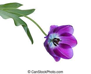 紫色, 郁金香