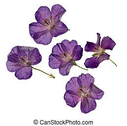 紫色, 隔離された, herbarium, 乾かされた, すみれの花, 押された