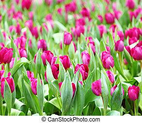 紫色, 鬱金香, 領域