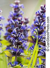 紫色, hyssopus, 花, officinalis