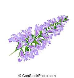 紫色, sage.vector., flower.