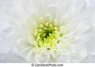 終わり, の, 白, アスター, 花
