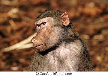 終わり, 頭, の上, baboon'
