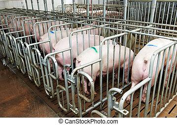組, ......的, 年輕, 豬, 喂