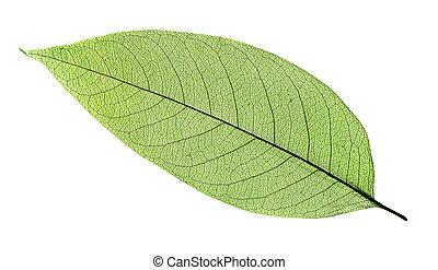 綠色白色, 葉子, 被隔离