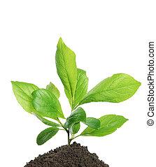 綠色的植物, 生長, 在, 土壤, 被隔离, 上, a, 白色