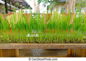 綠色的草, 生長, 在, a, 罐, 做, 從, bamboo.