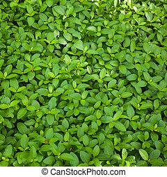 綠色的葉子, 背景