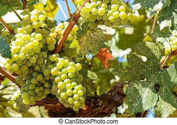 綠色的葡萄