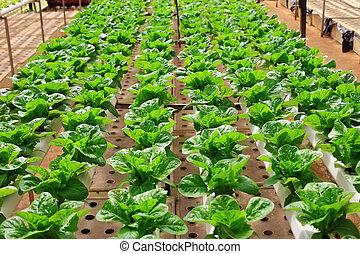 綠色, 新鮮, 卷心菜, 生長, 在, 溫室