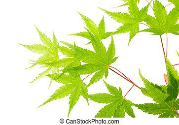 綠色, 槭樹葉, 被隔离, 在懷特上