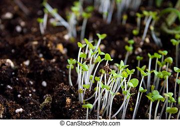綠色, 秧苗, 生長, 在外, ......的, 土壤