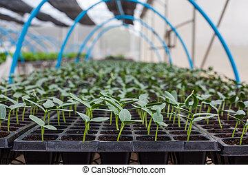 綠色, 黃瓜, 秧苗, 上, 托盤, 在, 溫室