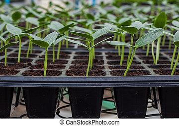 綠色, 黃瓜, 秧苗, 上, 托盤
