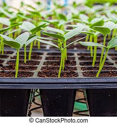 綠色, 黃瓜, 秧苗, 上, 托盤, 關閉