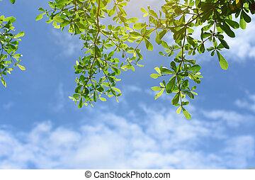 綠葉, 由于, 藍色的天空, 背景