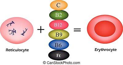 維生素, 是, 根本, 為, the, 發展, ......的, 紅色, 血液, cells., erythrocyte., 矢量, 插圖