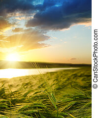 緑のフィールド, 上に, 日没, 大麦