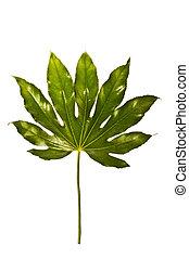 緑の白, 葉, 隔離された