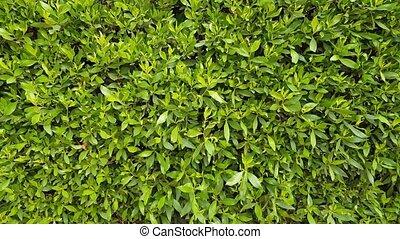 緑の葉群, 背景