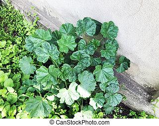 緑の葉, 植物, 上に, ∥, 古い, 赤の 煉瓦 壁