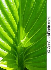 緑の葉, 背景, 若い, シュート