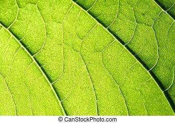 緑の葉, 静脈